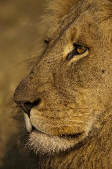 Close Up Portrait of a Male Lion-Beverly Joubert-Photographic Print