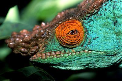 Close Up Portrait of a Male Parson's Chameleon, Callumma Parsonii-Cagan Sekercioglu-Photographic Print