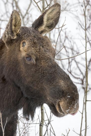 Close Up Portrait of a Moose, Alces Alces-Robbie George-Photographic Print