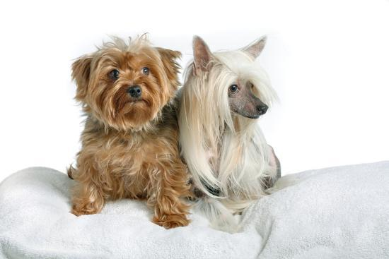 Close Up Portrait of a Pet Chinese Crested Dog and a Yorkshire Terrier-Vickie Lewis-Photographic Print
