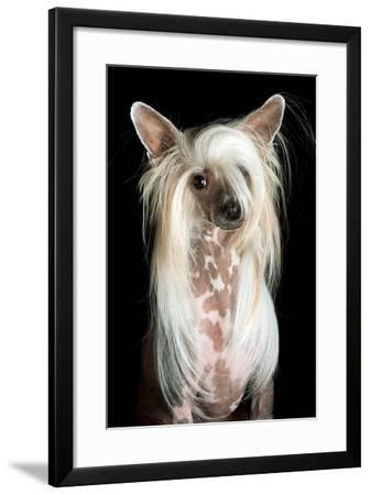 Close Up Portrait of a Pet Chinese Crested Dog-Vickie Lewis-Framed Photographic Print
