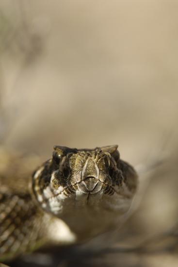 Close Up Portrait of a Prairie Rattlesnake-Michael Forsberg-Photographic Print