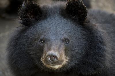 Close Up Portrait of a Rescued Asiatic Black Bear-Ami Vitale-Photographic Print