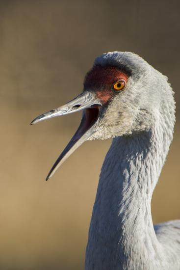 Close Up Portrait of a Sandhill Crane, Grus Canadensis-Paul Colangelo-Photographic Print