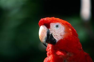 Close Up Portrait of a Scarlet Macaw, Ara Macao-Cagan Sekercioglu-Photographic Print