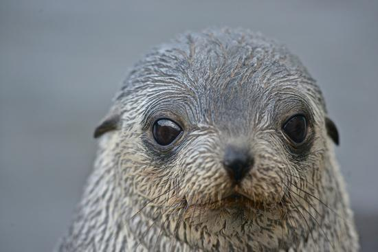 Close Up Portrait of a Southern Fur Seal Pup-Kike Calvo-Photographic Print