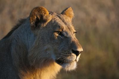 Close Up Portrait of a Young Male Lion, Panthera Leo-Sergio Pitamitz-Photographic Print