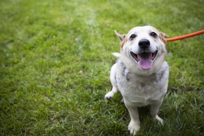 Close Up Portrait of an Adoptable Corgi Dog on a Leash Outdoors-Hannele Lahti-Photographic Print