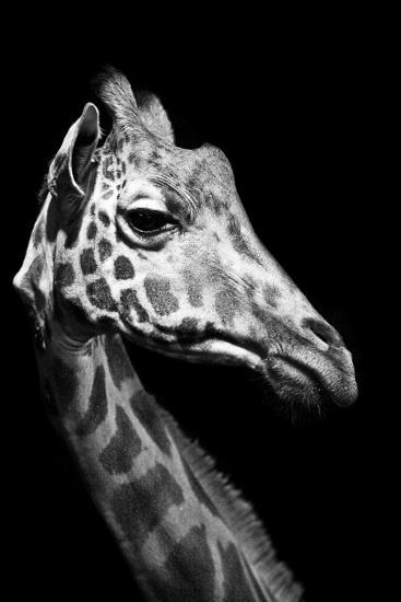 Close Up Portrait of an Endangered Rothschild Giraffe-Robin Moore-Photographic Print