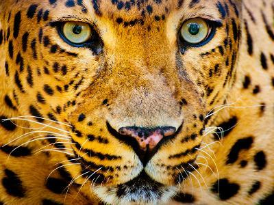 Close up Portrait of Leopard with Intense Eyes-Rob Hainer-Photographic Print