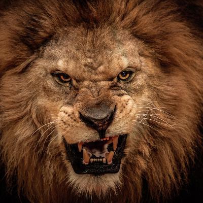 Close-Up Shot Of Roaring Lion-NejroN Photo-Wall Mural
