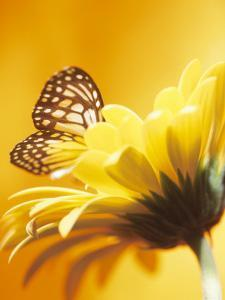 Close-Up Studio Shot of a Delicate Monarch Butterfly Resting on a Yellow Asteraceae Flower