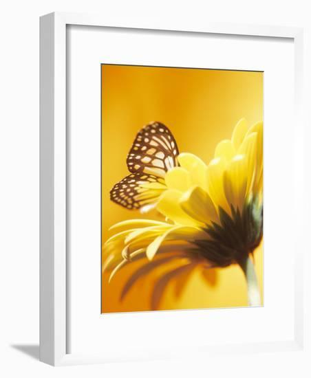 Close-Up Studio Shot of a Delicate Monarch Butterfly Resting on a Yellow Asteraceae Flower--Framed Photographic Print