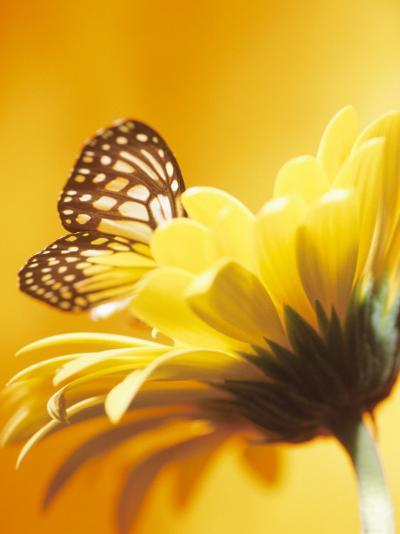 Close-Up Studio Shot of a Delicate Monarch Butterfly Resting on a Yellow Asteraceae Flower--Photographic Print