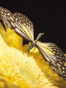 Close-Up Studio Shot of a Delicate Monarch Butterfly Resting on a Yellow Asteraceae Flowerhead