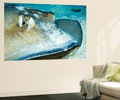 Close-Up View of a Female Southern Atlantic Stingray-Stocktrek Images-Wall Mural