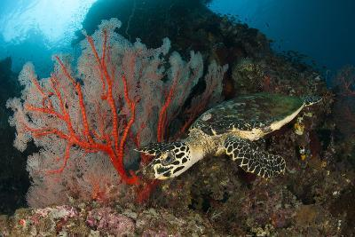 Close-Up View of a Hawksbill Sea Turtle Next to a Red Sea Fan, Indonesia--Photographic Print