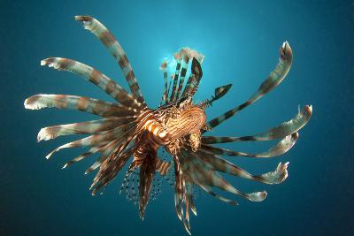 Close-Up View of a Lionfish. Gorontalo, Indonesia--Photographic Print