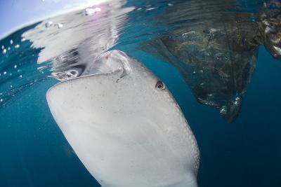 Close-Up View of a Whale Shark Breaching the Surface-Stocktrek Images-Photographic Print