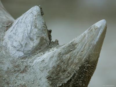 Close-Up View of a White Rhino's Muddy Horns, Henry Doorly Zoo, Nebraska-Joel Sartore-Photographic Print