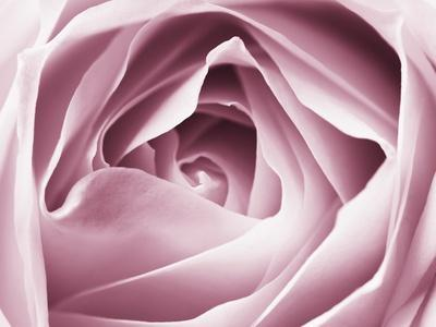 https://imgc.artprintimages.com/img/print/close-up-view-of-pink-rose_u-l-pzl4pr0.jpg?p=0