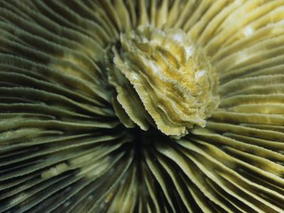 Close-Up View of Plate Coral (Heliofungia Actiniformis) Bunaken Island--Photographic Print