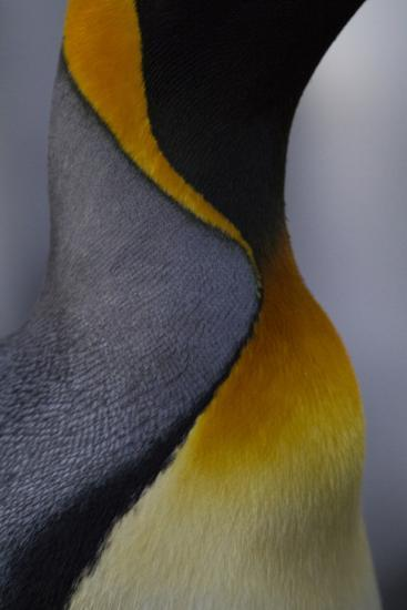 Close Up View of the Feathers of a King Penguin at Gold Harbour on South Georgia Island-Michael Melford-Photographic Print