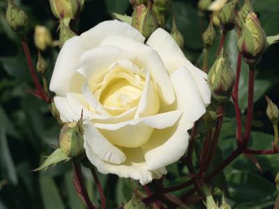 Close-Up White Rose, Pax, Taken in June-Michael Black-Photographic Print