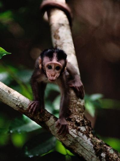 Close View of a Baby Macaque-Mattias Klum-Photographic Print