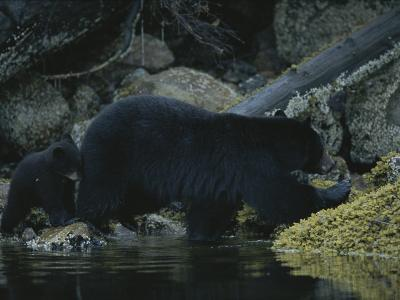 Close View of a Bear Standing in Shallow Waters by Moss-Covered Rocks-Joel Sartore-Photographic Print