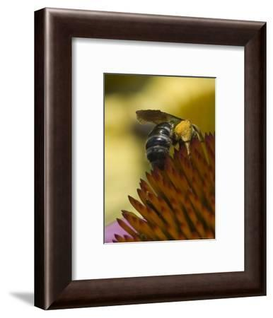 Close View of a Bee Collecting Pollen from a Flower, Groton, Connecticut-Todd Gipstein-Framed Photographic Print