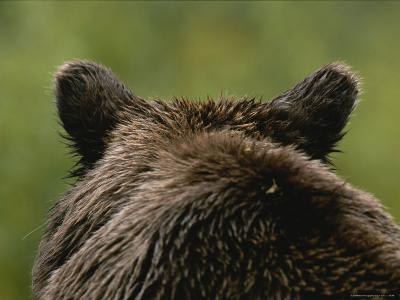 Close View of a Brown Bears Back and Ears in Denali National Park-Michael Melford-Photographic Print