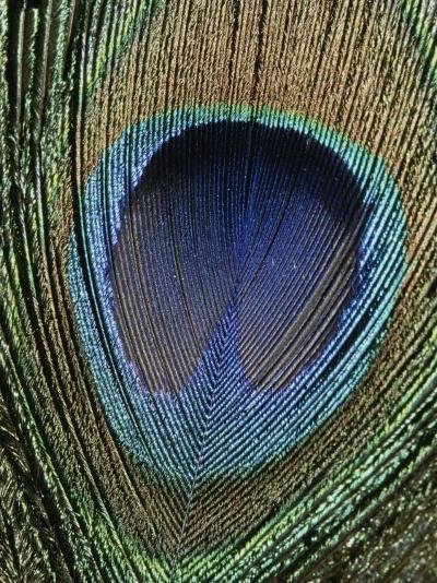 Close View of a Colorful Peacock Feather-Marc Moritsch-Photographic Print