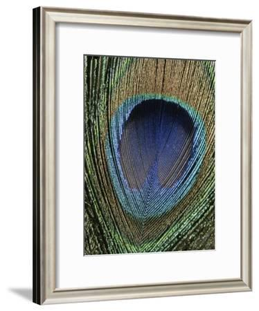 Close View of a Colorful Peacock Feather-Marc Moritsch-Framed Photographic Print