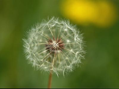 Close View of a Dandelion Gone to Seed-Nicole Duplaix-Photographic Print