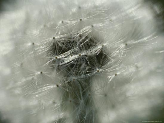 Close View of a Dandelion That Has Gone To Seed-Todd Gipstein-Photographic Print