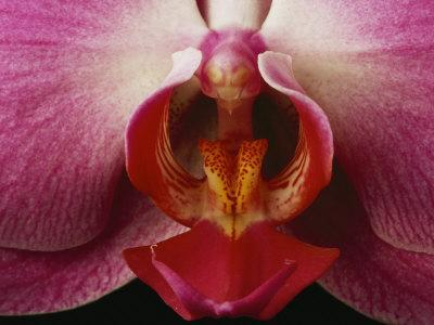 https://imgc.artprintimages.com/img/print/close-view-of-a-delicate-orchid-blossom_u-l-p4omti0.jpg?p=0