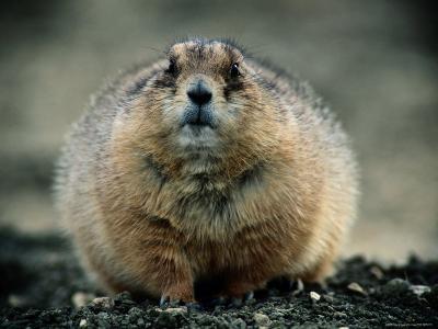 Close View of a Fat Prairie Dog-Joel Sartore-Photographic Print