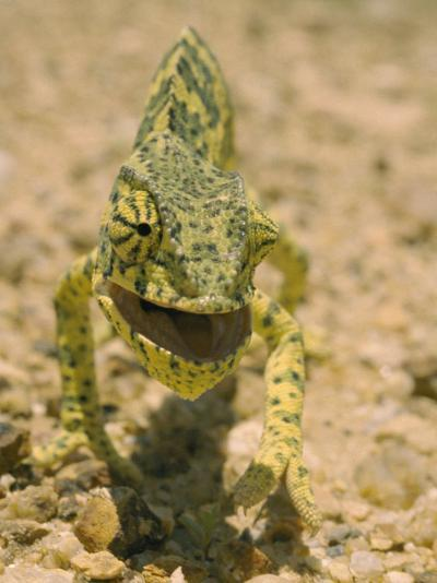 Close View of a Flap-Necked Chameleon-Jason Edwards-Photographic Print