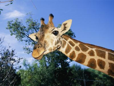 Close View of a Giraffe Looking Down into the Camera-Nick Caloyianis-Photographic Print