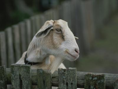 Close View of a Goat Looking over a Wooden Fence-Michael Melford-Photographic Print