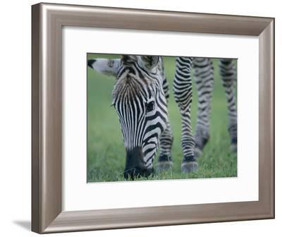 Close View of a Grants Zebra Grazing-Joel Sartore-Framed Photographic Print