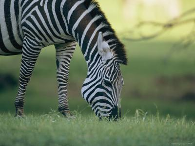 Close View of a Grazing Grants Zebra--Photographic Print