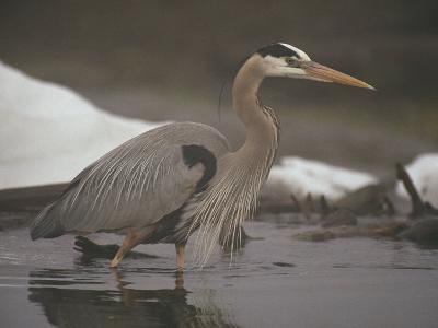 Close View of a Great Blue Heron Searching the Shallows for Food-Michael S^ Quinton-Photographic Print