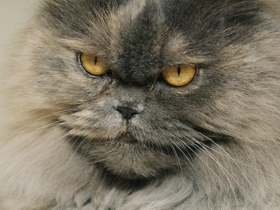Close View of a Grey Himalayan Cat-Brian Gordon Green-Photographic Print