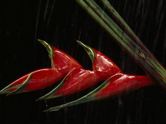 Close View of a Heliconia Flower-Paul Chesley-Photographic Print