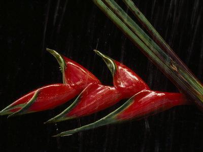 https://imgc.artprintimages.com/img/print/close-view-of-a-heliconia-flower_u-l-p8jm0o0.jpg?p=0
