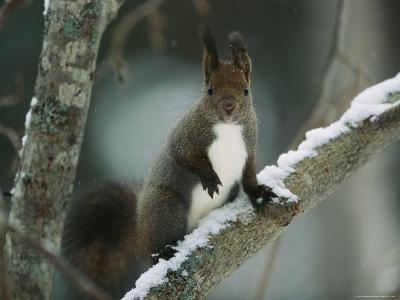 Close View of a Hokkaido Squirrel on a Snow Covered Tree Branch-Tim Laman-Photographic Print