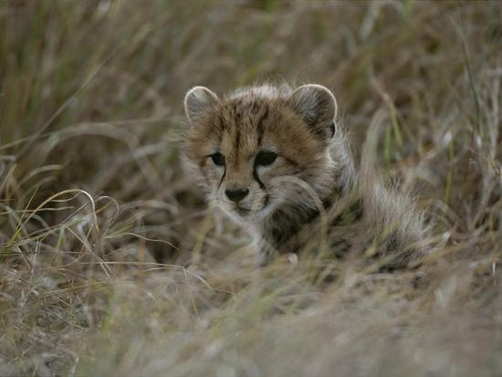 Close View of a Juvenile Cheetah in a Grassy Landscape-Roy Toft-Photographic Print