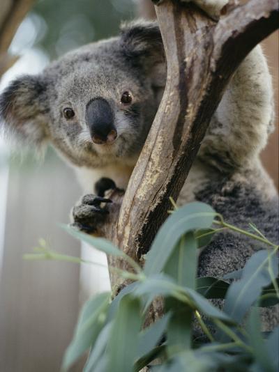 Close View of a Koala Bear-Kenneth Garrett-Photographic Print